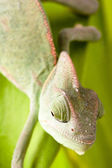 Chameleon on a branch — Stock Photo