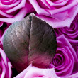 Roses and leaf — Stock Photo