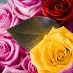 Wet roses — Stock Photo #30764933