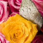 Wet roses — Stock Photo #30765679