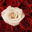 White rose & red petals — Stock Photo