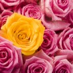 Multi-colored roses — Stock Photo #30765769