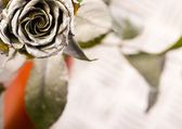 Silver rose — Stock Photo