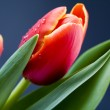 Spring tulips — Stock Photo #30771193