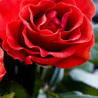 Romantic roses — Stock Photo