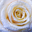 Stock Photo: Romantic rose
