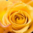 Yellow Rose — Photo