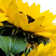 Sunflowers — Stock Photo #30810485