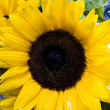 Sunflowers — Stock Photo #30811587