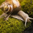 Snail on moss — Stock Photo #30814091
