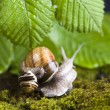 Snail on moss — Stock Photo #30814261