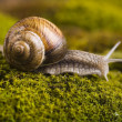 Snail on moss — Stock Photo #30814317