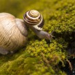 Snail on moss — Stock Photo #30814459