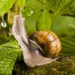 Snail on moss — Stock Photo #30814821