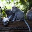 Monkeys — Stock Photo #38944181