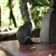 Stock Photo: Monkey Macaque