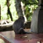 Monkey Macaque — Stock Photo