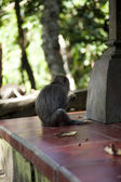 Monkey Macaque — Stockfoto