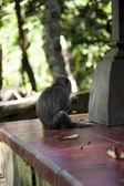 猴子猕猴 — 图库照片