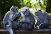 Monkeys — Stock Photo