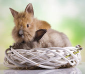 Easter baby bunnies — Stock Photo