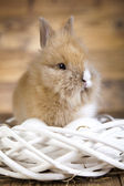 Furry bunny in nest — Stock Photo
