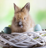 Bunny with blue eggs — Stock Photo