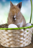 Beautiful bunny in basket — Stock Photo