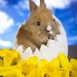 Easter bunny and daffodils — Photo