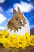 Easter bunny and daffodils — Stockfoto