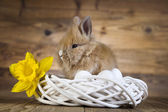 Cute bunny with narcissus — Stock Photo