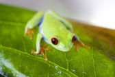 Red eyed frog — Stock Photo