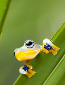 Exotic frog — Stock Photo