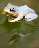 Frog with yellow abdone — Stock Photo
