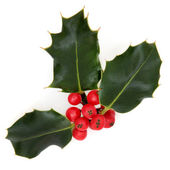 Holly Berry and Leaves — Stock Photo
