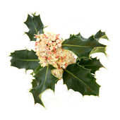 Holly Flower — Stock Photo