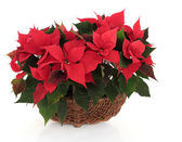 Poinsettia Flower Arrangement — Stock fotografie