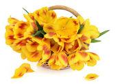 Fleurs de tulipes printanières — Photo