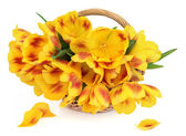 Flores de tulipán de primavera — Foto de Stock