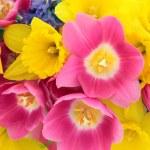 Spring Beauty — Stock Photo