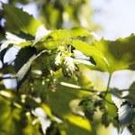 Plant hops — Stock Photo