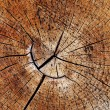 Tree rings - Stock Photo