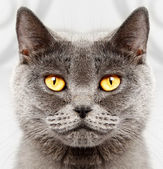 British short hair cat — Foto Stock