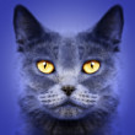 British short hair cat — Stock Photo