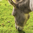Stock Photo: Donkey ( Equus africanus asinus )