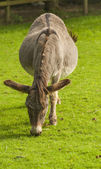 Donkey ( Equus africanus asinus ) — Stock Photo