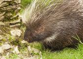 Cute Porcupine — Stock Photo
