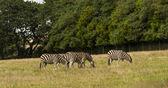 Zebra ( Equus zebra ) — Stock Photo