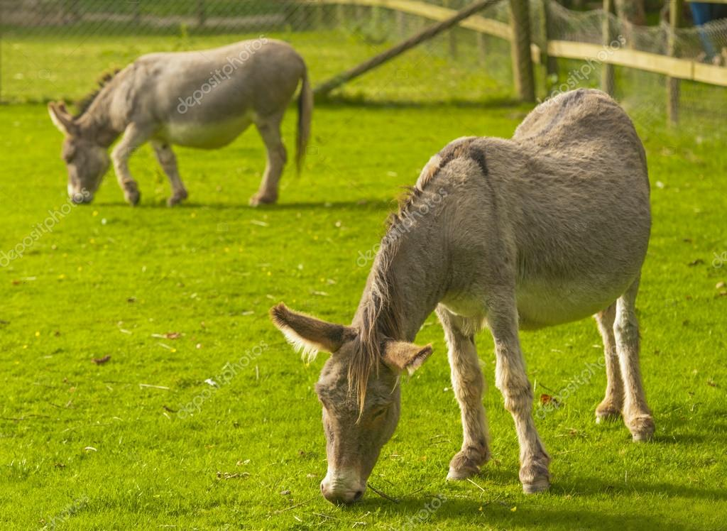 Donkey is a Member of the Equidae or Horse Family  — Stock Photo #13976226