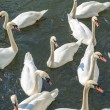 Stock Photo: Bevy of Swans
